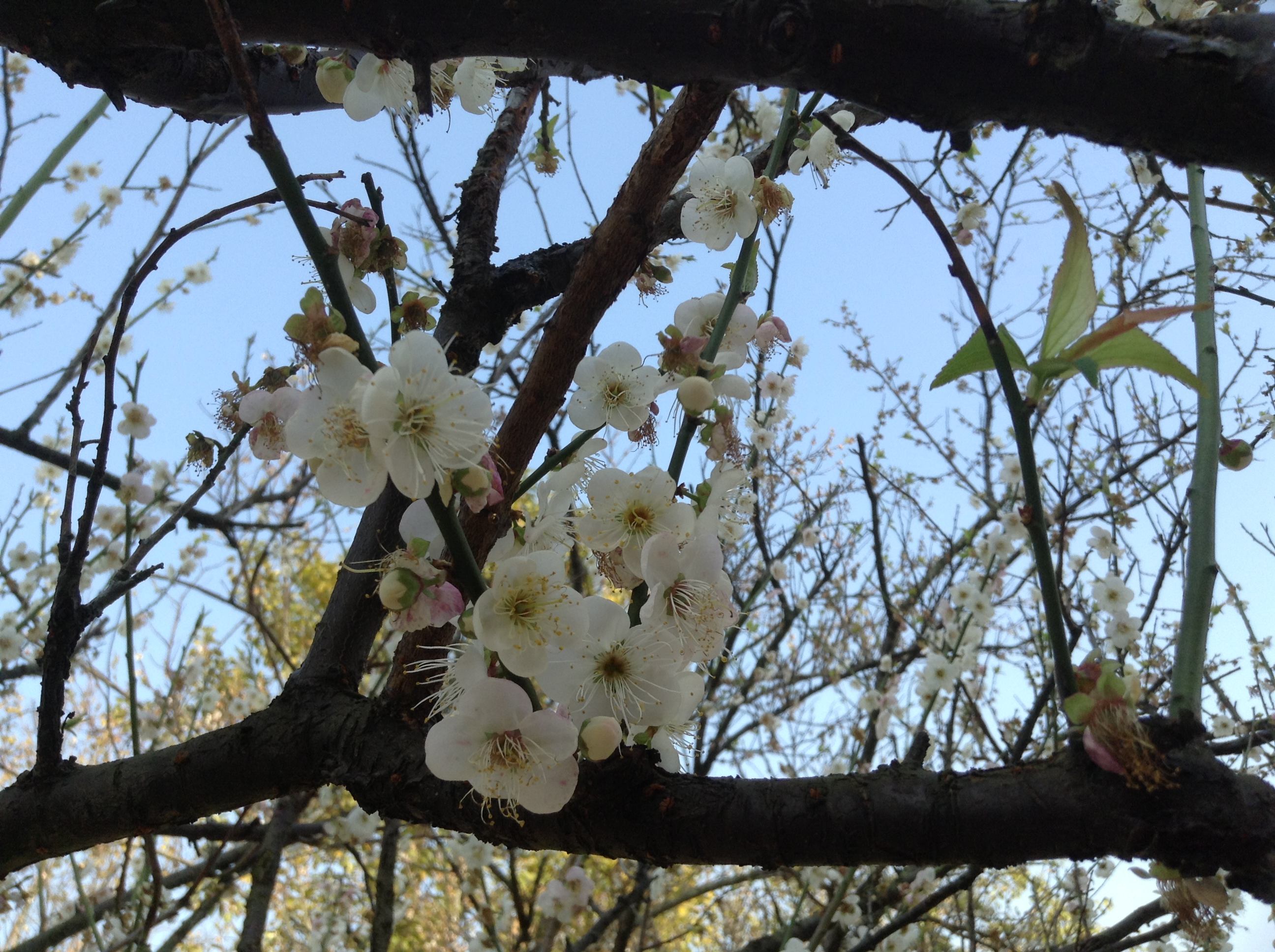 White Plum Blossoms at Xiangxue Park-1