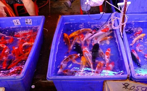 Kois in Huadiwan fish and pet market-1